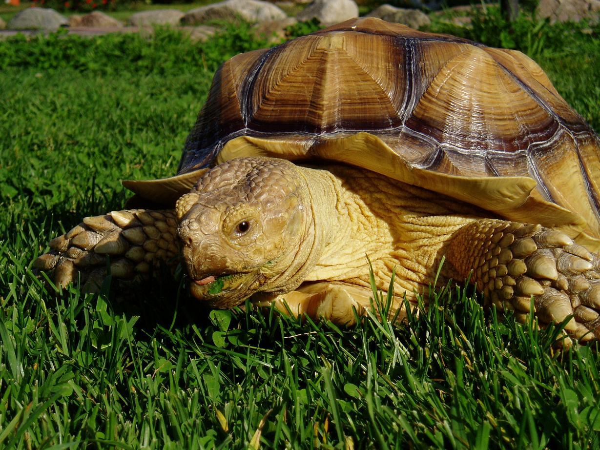 Jättiläiskilpikonna Kiia